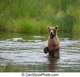 natural de alaska, marrón, piernas, oso, trasero