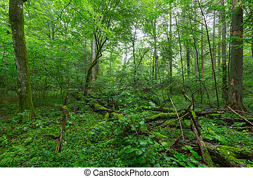 Natural deciduous stand of Bialowieza Forest