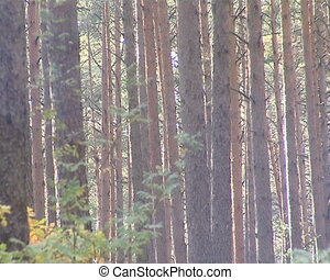 Natural dense forest. Coniferous pine tree trunks sunlighted.
