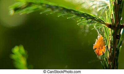 Natural fall background with orange leaf on evergreen fir...
