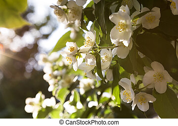 Natural floral tropical exotic botanical background with flowers. Gardening. A branch of delicate blooming fragrant white jasmine in the rays of the hot morning sun with highlights in the park