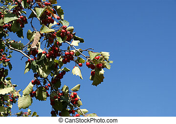Natural fruit ripe on the branches of hawthorn