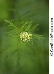 natural, fundo, jovem, folhas, e, brotos, de, um, planta medicinal, valerian, close-up, de, um, foco seletivo, em, borrão