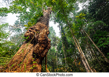 Natural Giant Burl Wood Tree in the National Park Forrest, Thailand.