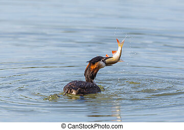 great crested grebe (podiceps cristatus) with fish in beak