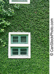 natural green climbing tree, plant wall with white window