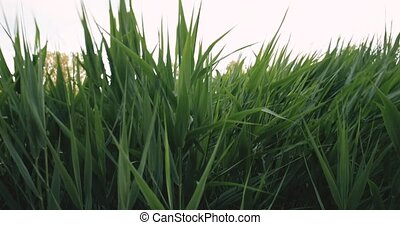Natural Green Greenery Grass Stems Swayed From Wind In...