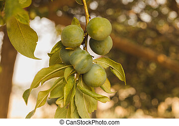 natural green raw plum fruit on tree with leaves in Asia