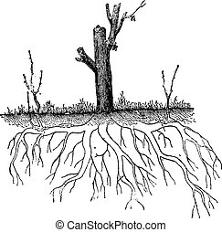 Natural Ground Layering, showing secondary root tips from one plant rising above ground to become separate plants, vintage engraved illustration. Dictionary of Words and Things - Larive and Fleury - 1895