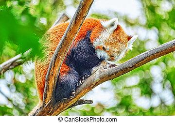 natural, habitat, seu, panda, vermelho, wild.