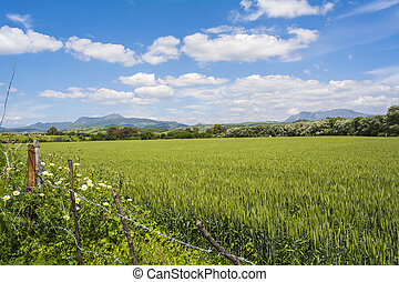 Natural landscape, valley, unripe wheat hardvest