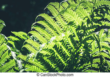 Natural leafs of fern with sunlight in tropical forest. Closeup. Nature background.