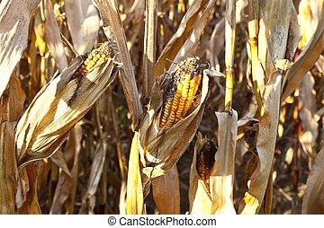 natural, maíz, plano de fondo, plantas, lleno, marchito, marco