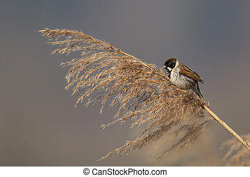 Natural male reed bunting bird