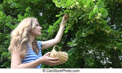 natural medicine student pick linden blossom in wicker basket. 4K