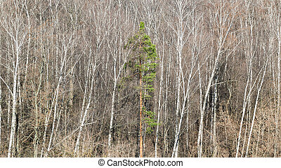 green pine trees between bare birches in forest