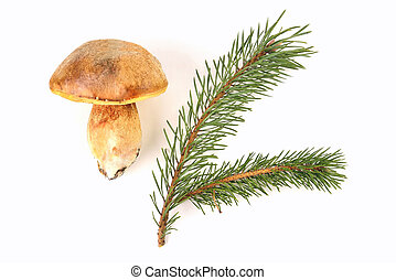 Natural porcini mushroom on a white background. Edible mushroom with a brown hat, pine branch isolate