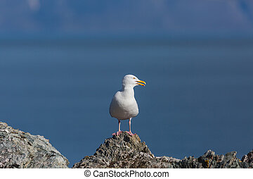 portrait glaucous burgomeister gull (Larus hyperboreus)...