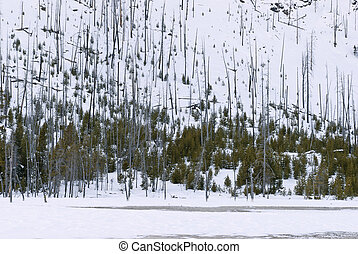 Natural Reseeding after Fire, Black Sand Basin, Winter, Yellowstone NP, WY