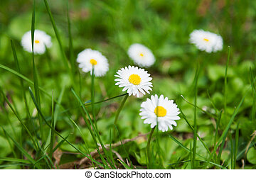 Natural summer background with daisies. Bright flowers in green grass.
