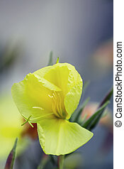 Natural Summer background with yellow flowers, Lunaria rediviva, selective focus, shallow depth of field