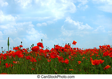 Natural summer beauty - Red poppy flowers colorful summer ...