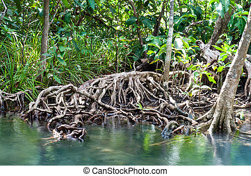 tree roots at Tapom two water canal in krabi, thailand