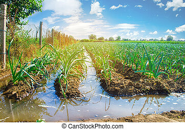 natural watering of agricultural crops, irrigation. leek plantations grow in the field. vegetable rows. farming agriculture