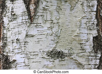 Natural wood background with birch bark texture
