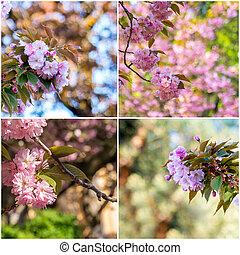 naturale, collage, primavera, albero, sfocato, sakura, fondo, fiori