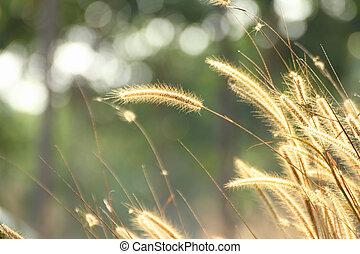 naturaleza, fondo dorado, flores, mala hierba, luz, césped ...