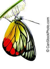 naturaleza, manía, aislado, milkweed, nacido, plano de fondo, bebé, monarca, blanco, mariposa