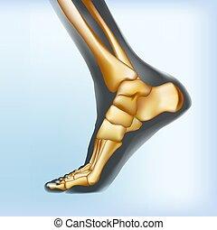 Naturalistic visualization of bones of foot. Anatomy of...