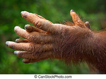 nature., 遊び, orangutan's, 手