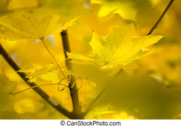 Nature Abstract: Golden Maple Leaves Exhibiting the Elegance of Autumn