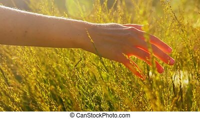 hand of woman touching herbs on sunny summer field - nature ...