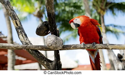 nature and wild birds concept - close up of red parrot sitting on perch