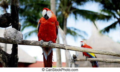 close up of two red parrots sitting on perch - nature and...
