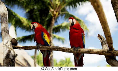 nature and wild birds concept - close up of two red parrots sitting on perch