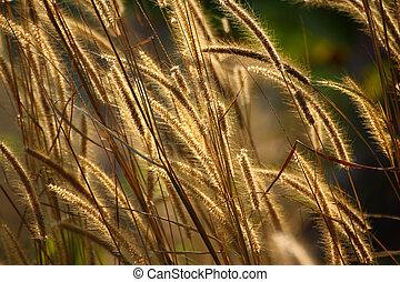 nature, arrière-plan doré, fleurs, mauvaise herbe, lumière, herbe hypertrophie terminale
