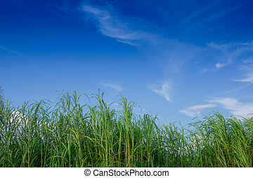 nature background of green grass and blue sky in the daytime, use for background natural concepts