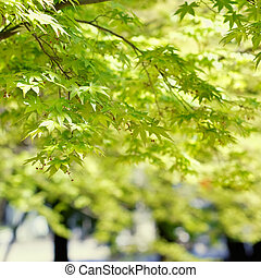 Nature background of green maple in outdoor.