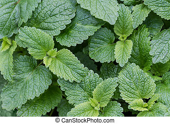 Nature background of mint leaves.