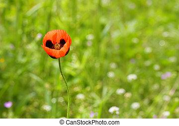 Nature background, red poppy flower