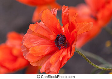Nature background with big red poppy.