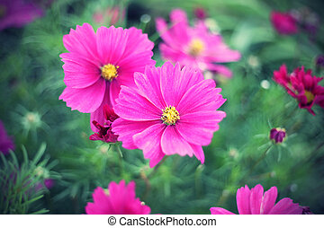 Nature background with pink Cosmos flowers