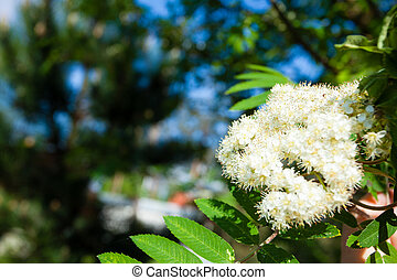 nature., bloosoming, flores blancas, de, rowan, árbol