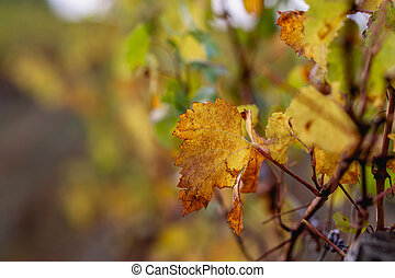 Nature blurred background. Shallow depth of field. Copy space. Autumn leaves of grapes.