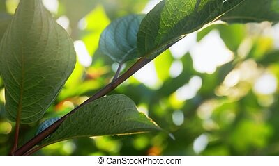 close up of hydrangea branch with green leaves - nature, ...