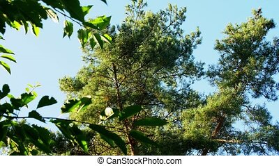 pine tree over blue sky - nature, botany and flora concept...